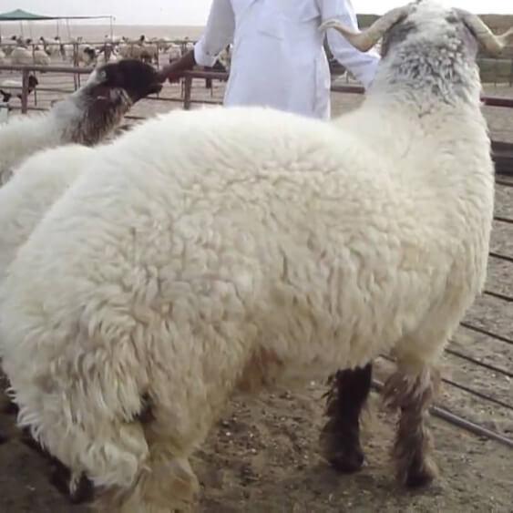 Cómo curtir cuero de oveja
