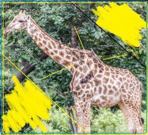 enfermedad en la piel de  jirafas