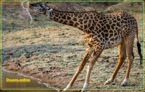 jirafa bebiendo agua