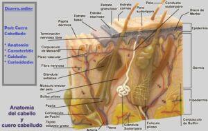 anatomía del cuero cabelludo